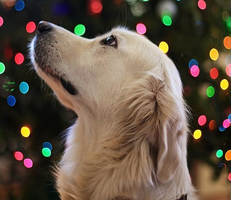 Dog and Christmas lights